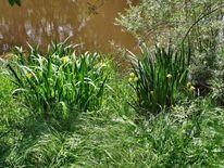 Wasserlilie, Angler teich, Fotografie