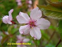 Blüte, Pink, Rosa, Staubgefäße