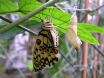 Kokon, Schlüpfen, Schmetterling, Nahaufnahme