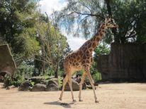 Rangordnung, Zoo, Giraffe, Verhalten