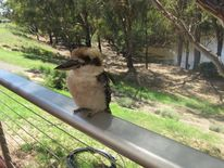 Füttern, Geduldig, Vogel, Queensland