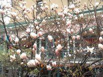 Fotografie, Magnolien, Blumen, Pflanzen