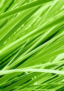Gras, Lineare, Grün, Schilf