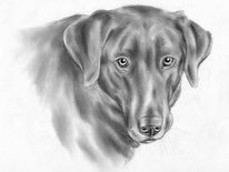 Rüde, Hund, Tierportrait, Zeichnung