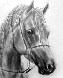 Grafit, Portrait, Pferde, Bleistiftzeichnung