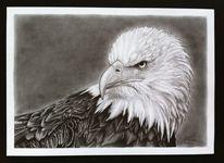 Tiere, Bleistiftzeichnung, Adler, Vogel