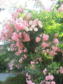 Rosa, Rose, Fotografie