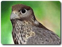 Greifvogel, Raubvogel, Falke, Natur