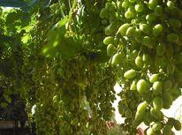 Weintrauben, Fotografie, Trauben, Sonnenlicht