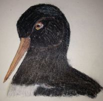 Wattvögel, Wattvogel, Austernfischer, Vogel