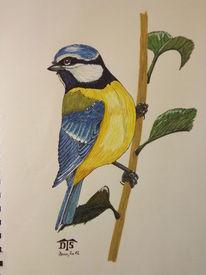 Blue tit, Singvogel, Vogel, Blaumeise