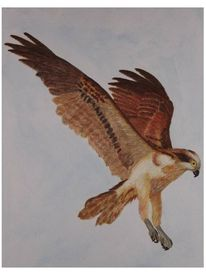 Fischadler, Greifvogel, Vogel, Tiere