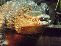 Reptil, Tiere, Krokodil, Fotografie