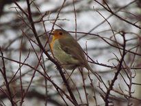 Singvogel, Vogel, Tiere, Rotkehlchen