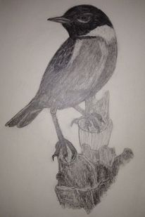 Vogel, Schwarzkehlchen, Singvogel, Zeichnungen