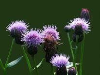 Wiese, Diestel, Blumen, Knospe
