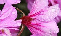 Regen, Sommer, Makro, Blumen