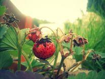Lebensmittel, Erdbeeren, 2o12