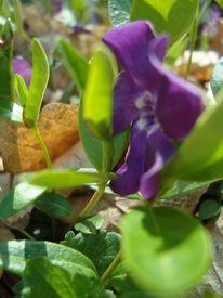 Blumen, Fotografie, Stillleben, Lila