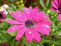 Natur, Blüte, Tropfen, Garten