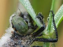 Morgen, Alien, Libelle, Makrofotografie