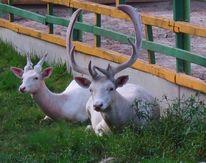Hirsch, Tiere, Natur, Fotografie
