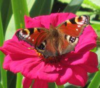 Natur, Insekten, Schmetterling, Blumen