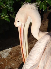 Pelikan, Rosa, Tiere, Fotografie