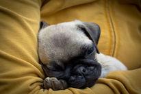 Müde, Hund, Welpe, Schlaf