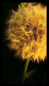 Löwenzahn, Pusteblumen, Fotografie