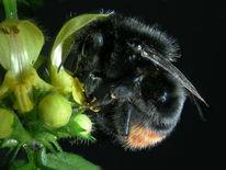 Insekten, Besteuben, Hummel, Makro