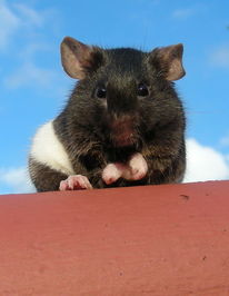 Natur, Tiere, Ratte, Makro