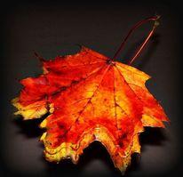 Blätter, Herbst, Ahornblatt, Orange