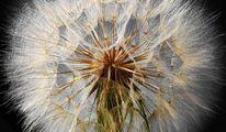 Pflanzen, Fotografie, Natur, Pusteblumen