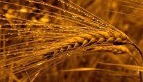 Weizen, Tropfen, Fotografie, Pflanzen