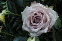 Regen, Traurigkeit, Hoffnung, Rose