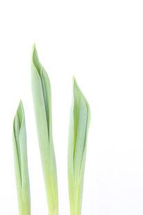 Tulpen, Blätter, Blumen, Frühling