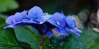 Blüte, Hortensien, Blau, Regen