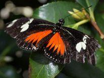 Signalfalter, Flügel, Schmetterling, Fotografie