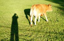 Kuh, Dämmerung, Schatten, Wiese