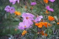 Pink, Orange, Fotografie, Garten