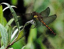 Libelle, Orange, Grün, Flügel