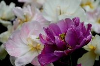 Regen, Zauber, Tulpen, Fotografie