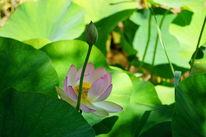 Blätter, Knospe, Lotos, Blüte