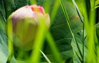 Rosa, Blüte, Blätter, Grünschleier