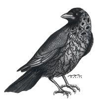 Jackdaw, Krähe, Zeichnung, Portrait