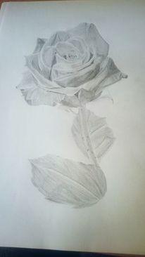 Rose, Weißes papier, Zeichnungen, Pflanzen