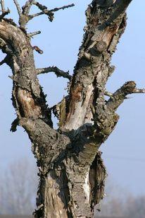 Kirchbaum, Holz, Himmel, Rinde