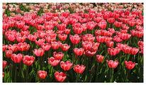 Holland, Tulpen, Fotografie, Blumen
