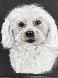 Maltipoo, Weiß, Pastellmalerei, Hund